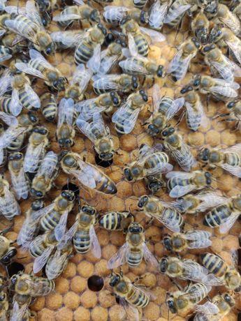Бджоломатки Карніка із Європейського матеріалу
