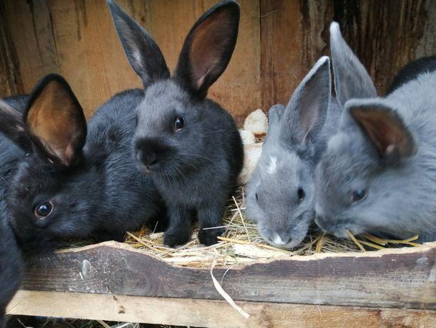 Sprzedam młode króliki po samcu wiedeńskim