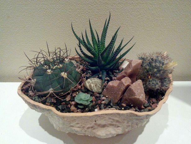 Копозиции из кактусов и суккулентов. Цветы на подарок