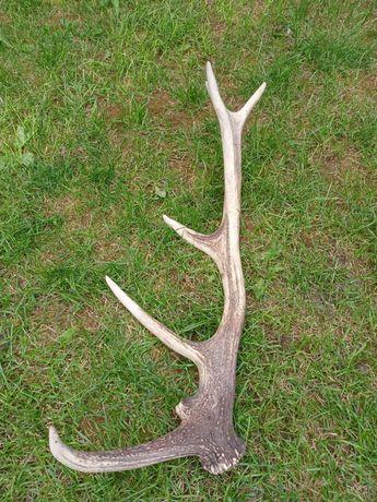 Poroże jelenia 68cm