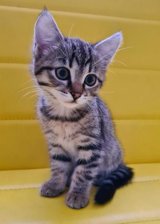 Котенок ищет дом (девочка, 2 мес.)