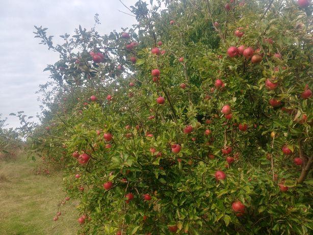 Jabłka bez chemii prosto z sadu