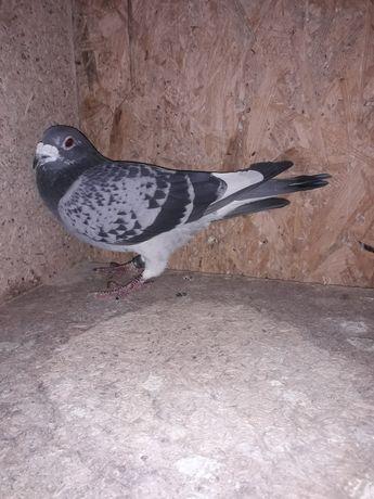 Gołębie pocztowe Anglia