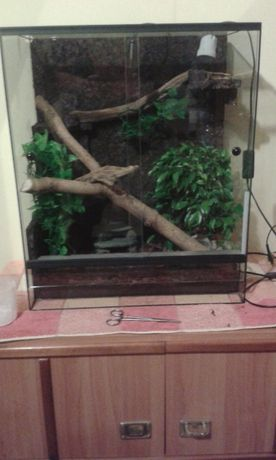Gekon orzęsiony + Duże terrarium