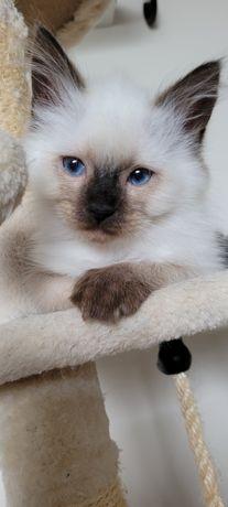 Cudowne kociaki Neva Masqarade- Gotowe do odbioru