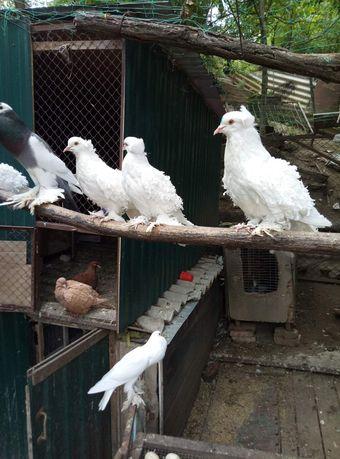 Продам голубей голубів своїх