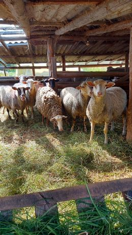Продам баранов,овец.Цена договорная