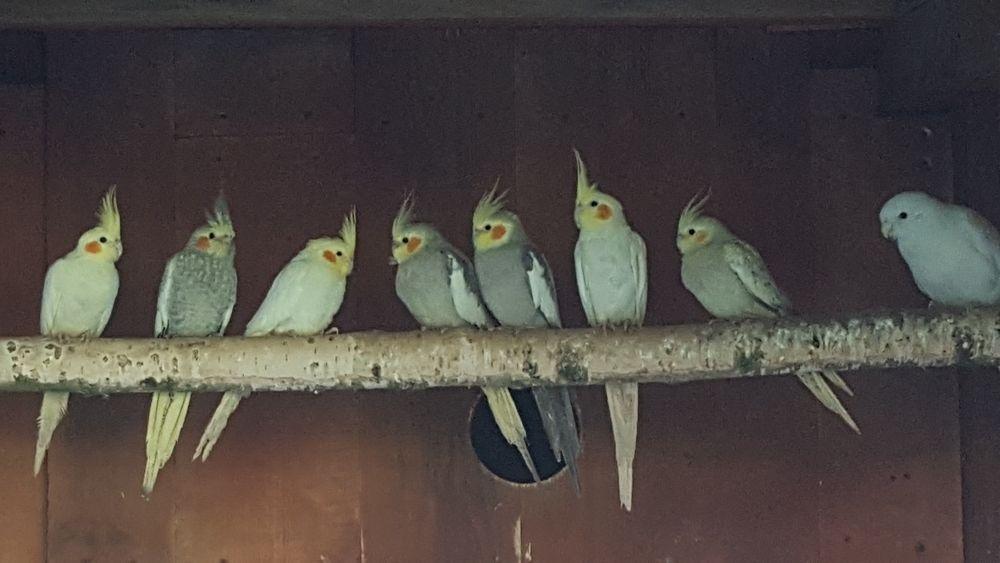 Papugi nimfy Łosice - image 1