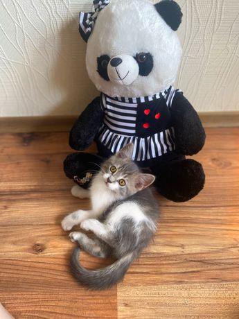 Ласковый котенок , метис британец