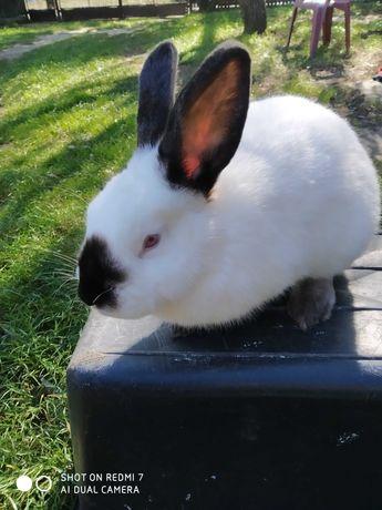 Sprzedam króliki KC samice i samce