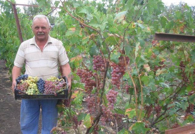 От виноградаря. Саженцы винограда