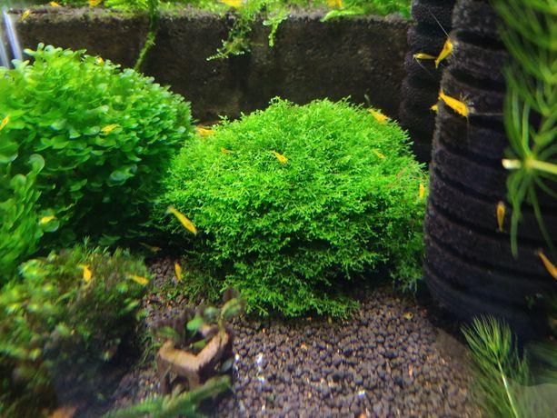 Mini pelia (Riccardia chamedryfolia)