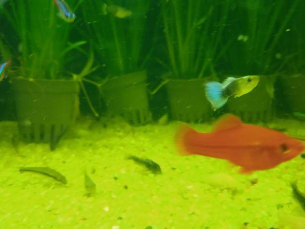 Mieczyki czerwone/rybki akwariowe/rybka/ryba