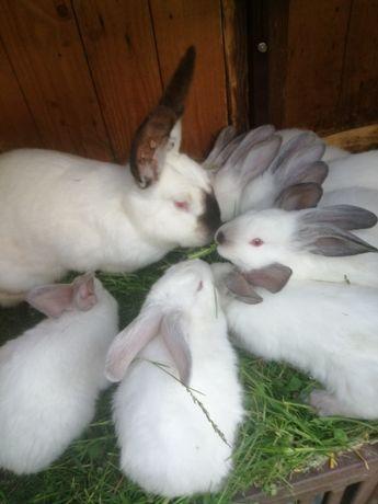 Sprzedam króliki srokacze/kalifornijskie, 5tygodni