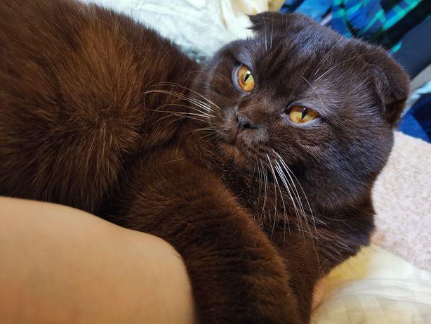 Шотландский шоколадный вислоухий кот для вязки, киев, позняки