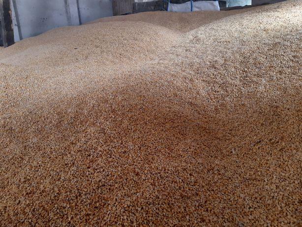 Kukurydza sucha w workach lub luzem