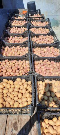 Картопля насіннєва