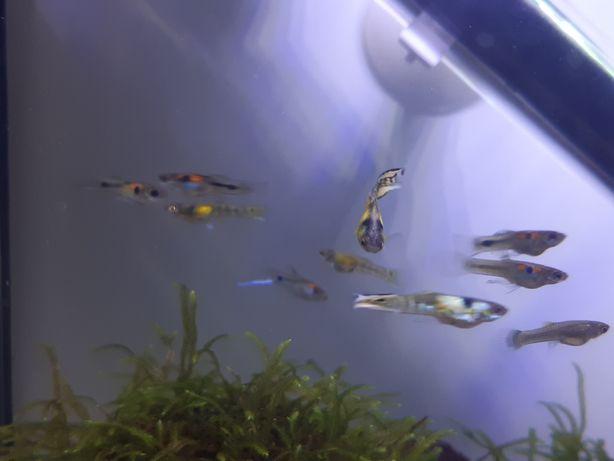 14 peixes guppy juvenis. Machos já a pegar coloração