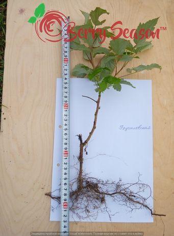 Саженцы ремонтантных и летних сортов малины