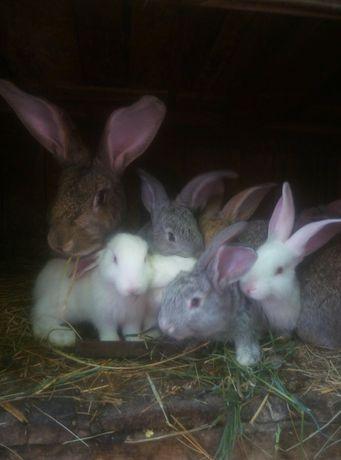 Продам кроликов.. ЖИВЫХ 100грн