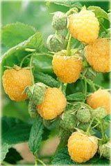 Sadzonki maliny żółtej owocującej na pędach 2letnich