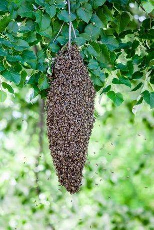 rój pszczół, zabiorę pszczoły