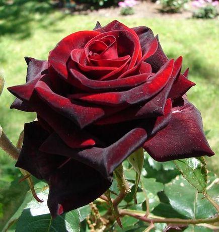 Саженцы плодовых деревьев,кусты роз