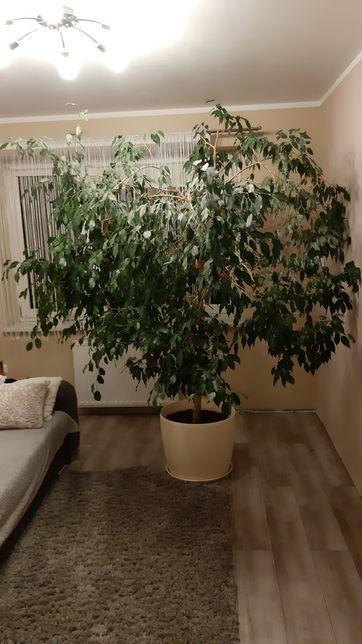 Fikus Beniaminski ( BENIAMINEK ) roślina doniczkowa