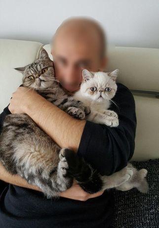 Krótkowłosy pers czyli kot egzotyczny- kocurki egzotyczne