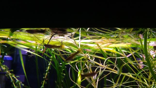 Gubiki akwarium rybki