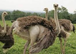 Продам взрослые африканские страусы. Здоровая и красивая птица.