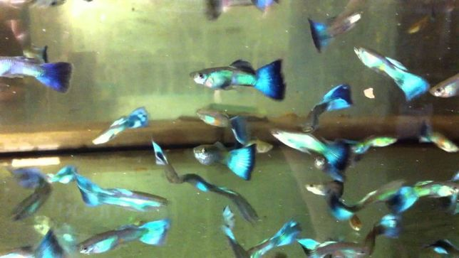 Gupik Turquise blue elblag