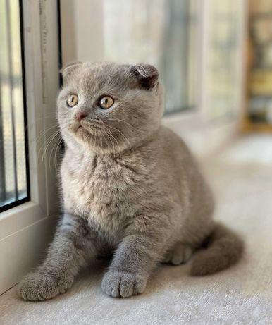 Вислоухие шотландские котята, шотландский котенок, скоттиш фолд