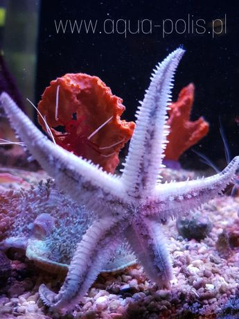 Rozgwiazda piaskowa Archaster typicus / akwarium morskie
