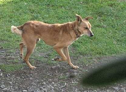 Zaginął pies (starsza, mała, lękliwa suczka) Jaworzno
