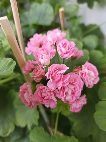 Пеларгония Swanland Pink / Australian pink rosebud
