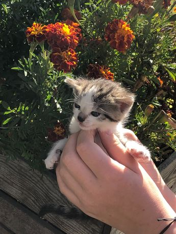 Oddam 1,5 miesięczne kotki