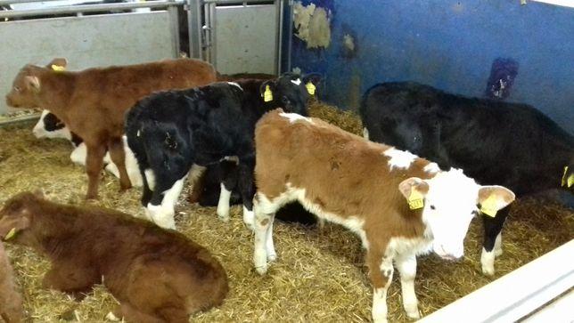 Sprzedam Jałówki mięsne oraz mleczne , byczki mięsne i NCB,HF,MM