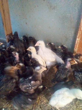Цыплята подрощенные
