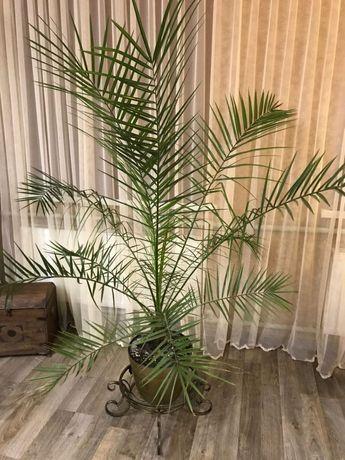 Пальма фінікова, висота 150 см