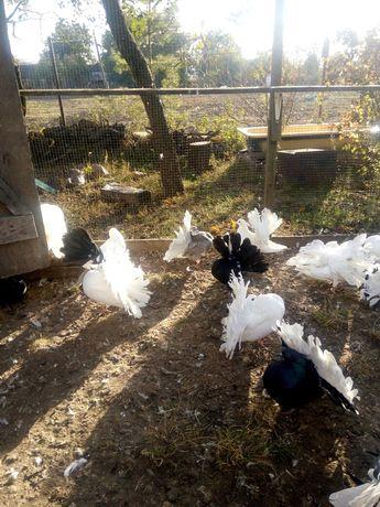 Продам павлиньих голубей