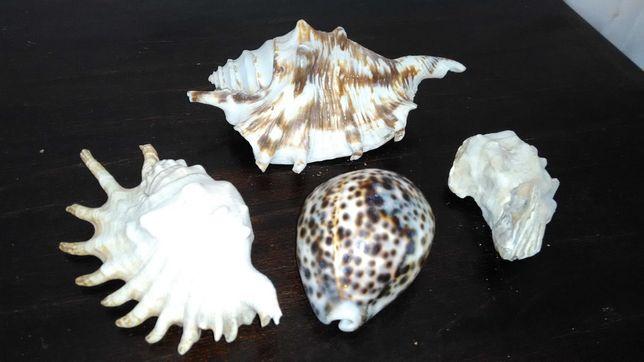 Conchas naturais