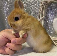 KIT completo coelhos anões teddy e angorá muito dóceis