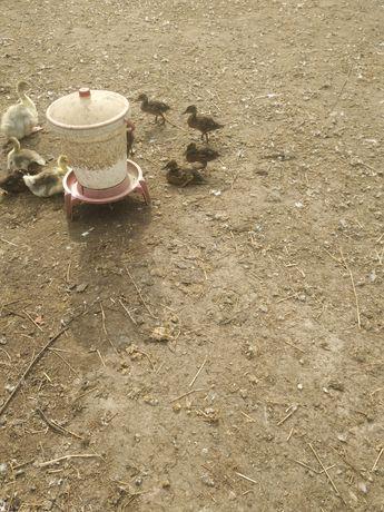 Kaczki krzyżówki dzikie