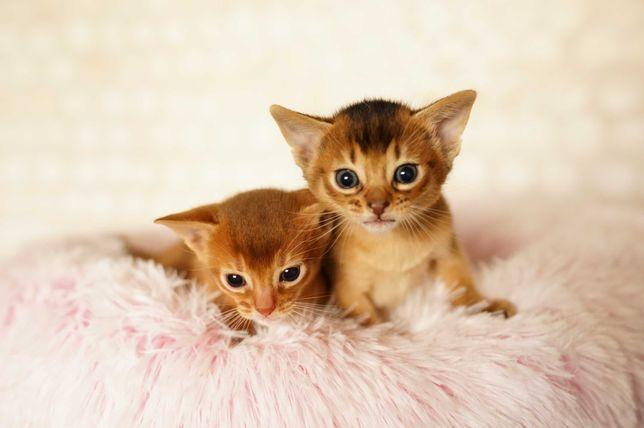 Абиссинская кошка Sun Paradise родились котята дети чемпионов