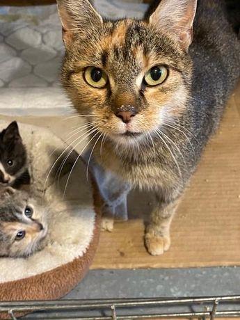 Piękna kotka trikolor do adopcji - Łatka