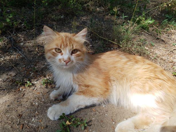 Рыжий кот/котик
