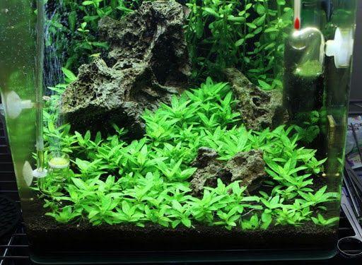 Staurogyne Repens/rośliny akwariowe/roślina
