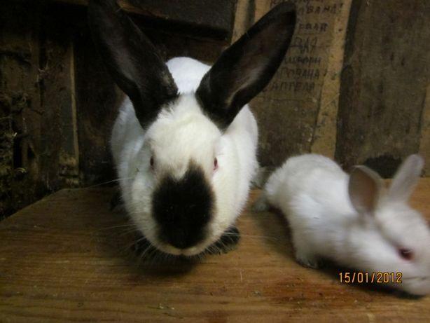 Продам кроликов калифорнийцев разных возрастов .