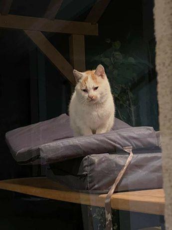 Przybłąkał się biało-rudy kot